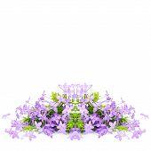 Violet Ixora