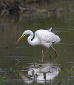 beautiful specimen of Great White Egret