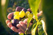 Fruits Hands Plums Grapes Light Sun