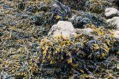 Bladderwrack Growing On Rocks From Close