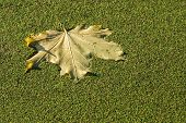 Maple Leaf Of Autumn Color On A Water Duckweed