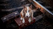English Bull Terrier On Rails With Suitcases