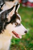 Close Up Young Husky Puppy Eskimo Dog