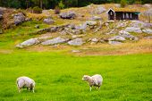 Sheeps On Pasture. Norway Landscape