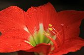 Amyrilla - Colorful Flower Background - Red Romance