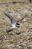 image of killdeer  - Mother Killdeer  - JPG
