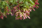 Pink Winged Maple Seeds - Acer circinatum