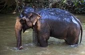 stock photo of bathing  - Elephant bathing in the river - JPG