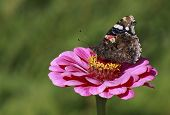 Butterfly On Zinnia Flower