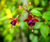 Beautiful Dark Red Fuchsia Flower On The Nature Green Backgroud, ` Huet's Kwarts`, Closeup