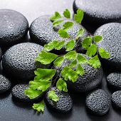 Green Twig Adiantum Fern On Zen Basalt Stones With Dew, Beautiful Spa Concept, Closeup