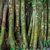 Big Tree Roots Or Stems In Rainforest National Park Periyar Wildlife Sancturary, India