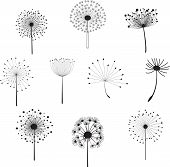 Floral Elements with dandelions for design.