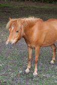 Portrait Of Beautiful Minishetland Stallion