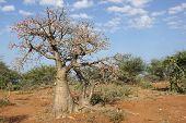 pic of desert-rose  - Desert - JPG