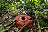 rafflesia anoldi
