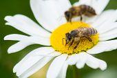 Bees Sucking Nectar