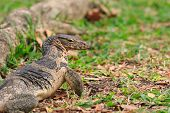 picture of salvation  - close up face of Water monitor Varanus salvator on natural field - JPG