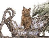 British shorthair in front of a Christmas scenery
