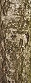 Texture Of Birch Tree Bark With Green Moss