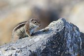 pic of ground nut  - Barbary ground squirrel  - JPG