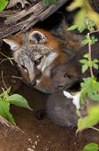 Grey Fox (urocyon Cinereoargenteus) Vixen And Kits In Den From Above