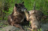 pic of paws  - Black Wolf  - JPG