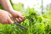 Woman gathers fresh herbs in the garden