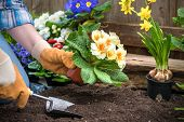 image of primrose  - Gardener planting flowers in pot with dirt or soil at back yard - JPG