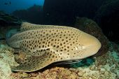 stock photo of leopard  - Leopard Shark  - JPG