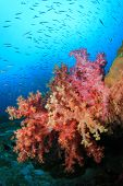 Colourful Red Soft Corals