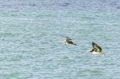 Peruvian pelicans flying (Paracas, Peru)