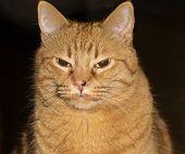 Angry orange cat