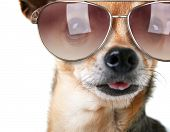 a cute chihuahua with sunglasses on
