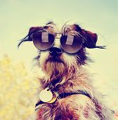 image of protective eyewear  - a cute chihuahua terrier mix toned with a retro vintage instagram filter with sunglasses on - JPG