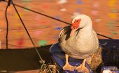 white Muscovy Duck standing