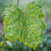 Grape Leaf Disease