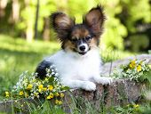 picture of fluffy puppy  - papillon puppy - JPG