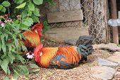Colorido gallo