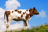 picture of calf  - White and brown calf on a mountain pasture with green grass yellow flowers and blue sky with clouds - JPG