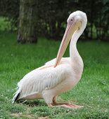 Pelican Sitting On The Grass