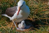 picture of albatross  - This black browed albatross lays just one egg and makes its home at West Point Island in the Shetland Islands.