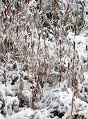 Cattails In The Snow