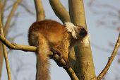 Lemur Basking In The Sun