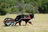 Bernese Mountain Dog Carting