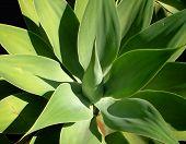 Aloe1