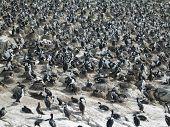 Imperial Cormorant Colony