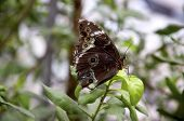 image of mimicry  - Closeup of a beautiful owl butterfly - JPG