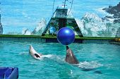 trained dolphins playing with ball