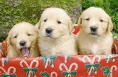 Three Goldens